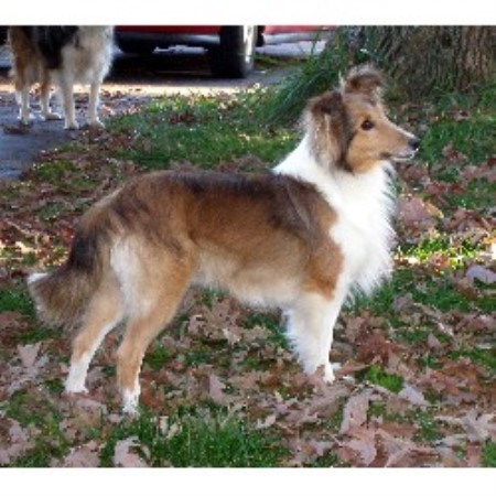 Oak Glen Shelties Shetland Sheepdog Breeder In Hurt Virginia