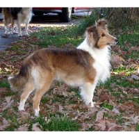 Oak Glen Shelties