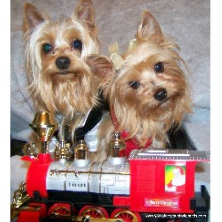 Yorkshire Country Kennels, Yorkshire Terrier Breeder in Stanford