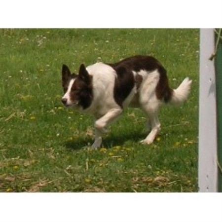 Border Collie breeder Cummings 16327