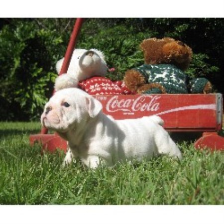 Ragtime Bulldogs English Bulldog Breeder In Camden Ohio