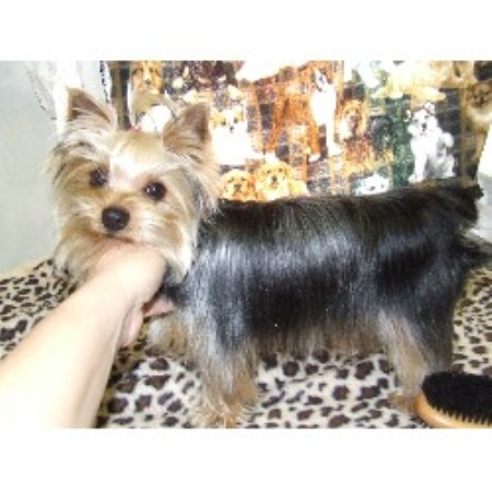 Yorkshire Terrier breeder Wewoka 16382