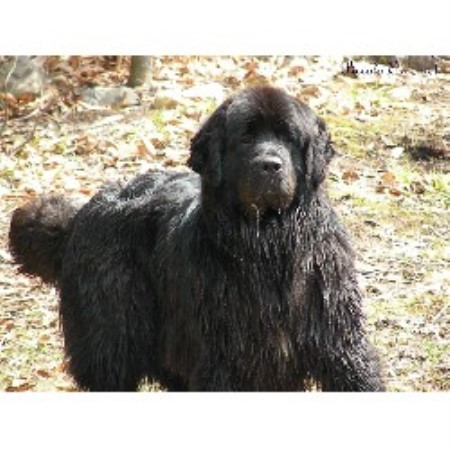Newfoundland Dog Breeder in Quebec (Kennel: Piccolo Orso Newfoundlands ...