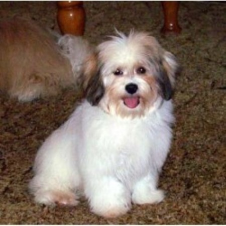 Havanese breeder Linwood 16429 Havanese Kansas City