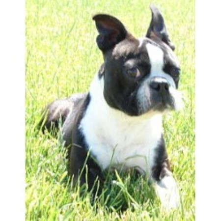 Boston Terrier breeder in Swift Current, Saskatchewan