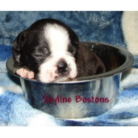 Boston Terrier breeder in Saskatchewan