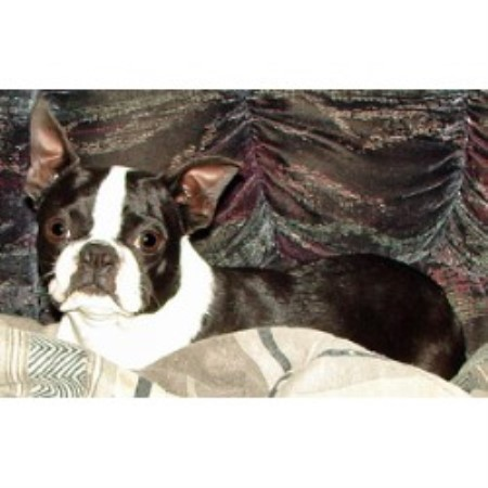 Boston Terrier breedering kennel in Swift Current