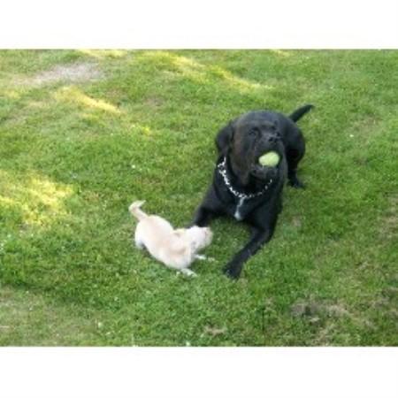 Black Presa Kennel Perro De Presa Canario Breeder In
