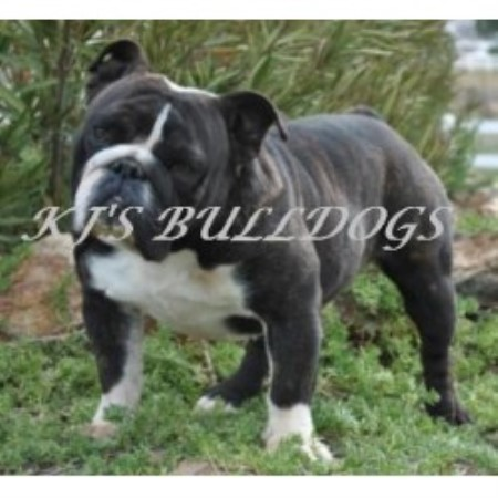 Kj S Bulldogs English Bulldog Breeder In Murrieta California