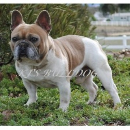 Kj S Bulldogs French Bulldog Breeder In Murrieta California