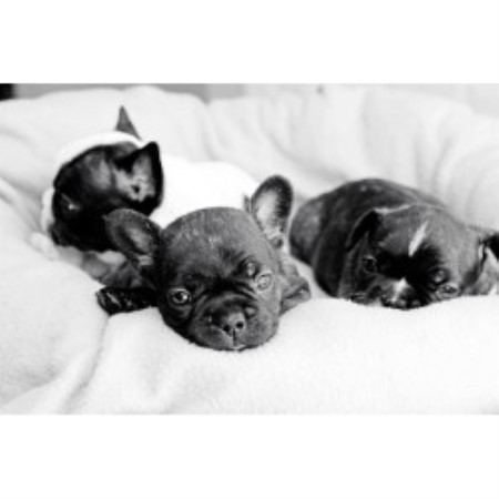 French Bulldog breeder Atlantic City 16522