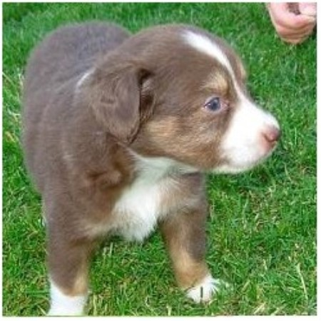 Miniature Australian Shepherd breeder in Monroe