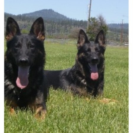 German Shepherd Dog breeder in Post Falls