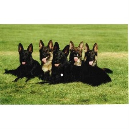 GSD,Alsatian breeder in Post Falls, Idaho