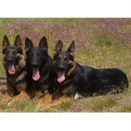 German Shepherd Dog breeder in Idaho