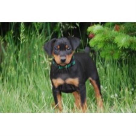 German Pinscher breeder Mount German Pinscher For Sale In Pa
