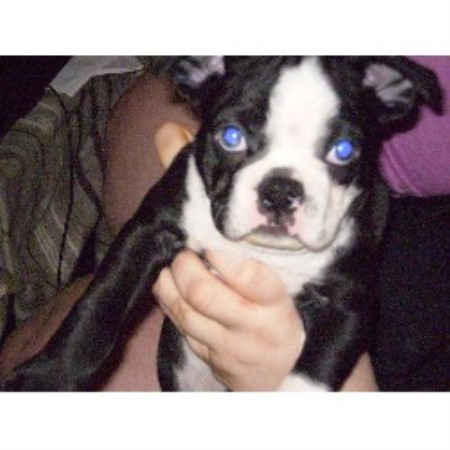 Dkbostonterriers Boston Terrier Breeder In Sevierville Tennessee