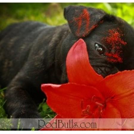 Rodbulls French Bulldogs, French Bulldog Breeder in St