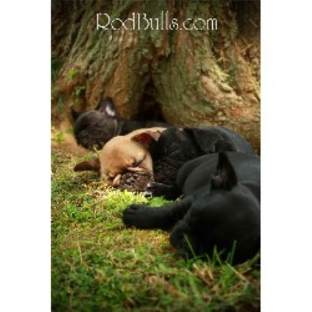 Rodbulls French Bulldogs, French Bulldog Breeder in St Liboire, Quebec