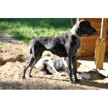 Great Dane breeder in Blythe, Georgia