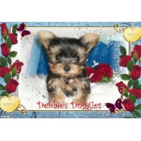 Yorkshire Terrier breeder Madill 16639