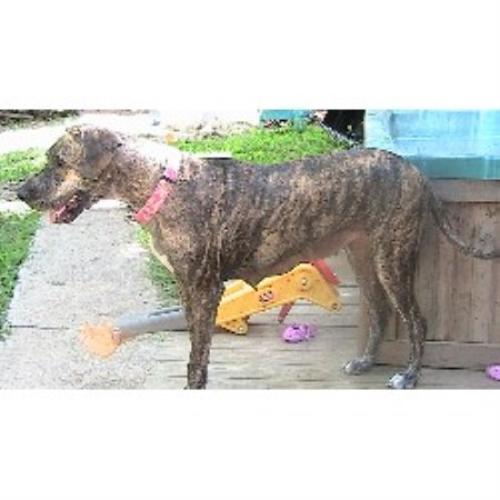 Brindle+great+dane+puppies+for+sale+in+texas