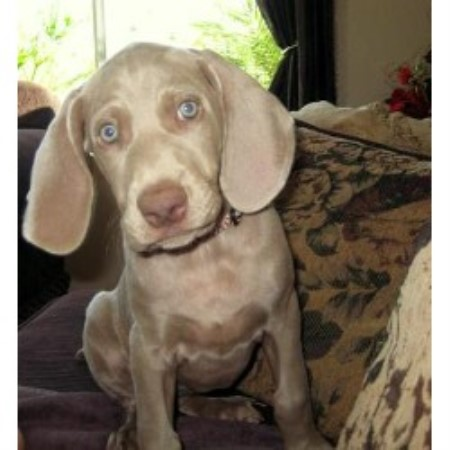 Weimaraner Breeders In California Freedoglistings