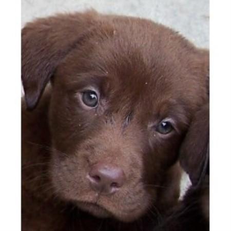 Labrador Retrievers for sale in Georgia
