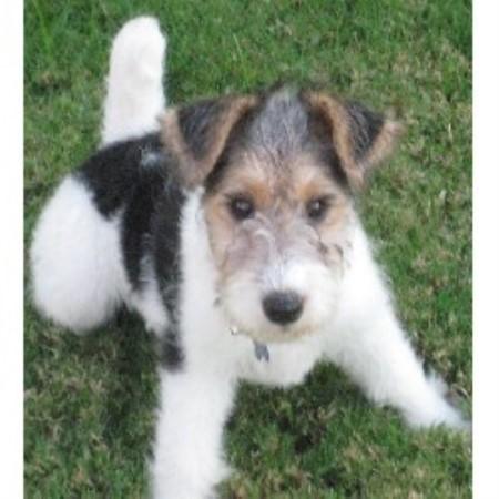 Delayre Wire Fox Terrier Breeder In Sun Valley California