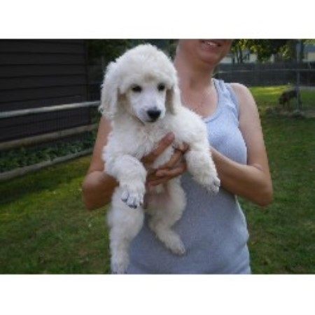 Mia Knicely Poodle Standard Breeder In Toledo Ohio