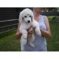 Mia Knicely - Poodle Standard Breeder