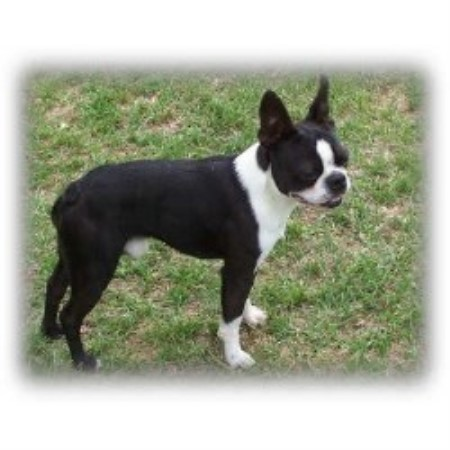 Boston Terrier breeder Plantersville 16752