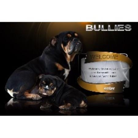 Royalty Bullies English Bulldog Breeder In Patterson California