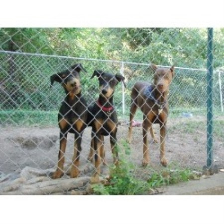 Doberman Pinscher breeder Tucson 16760