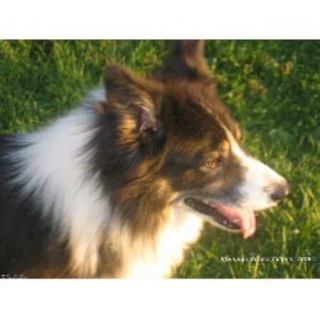 Border Collie breeder Lebanon 16830