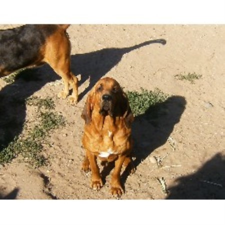 Backwoods Bloodhounds Bloodhound Breeder In Grant Michigan