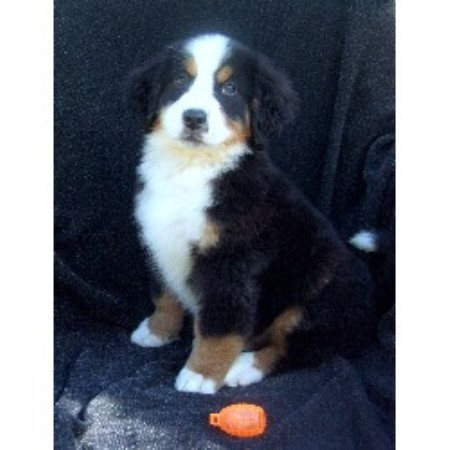 Bernese Mountain Dog Rescue Vancouver