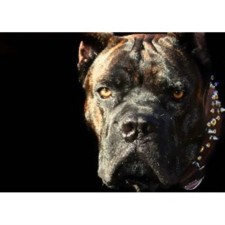 Cane Corso breeder Pipe Creek 16900
