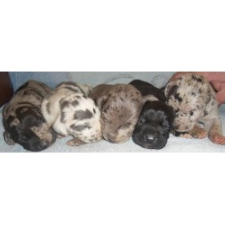 Great Dane breeder in Pipestone