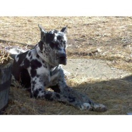 Great Dane breeder in Minnesota