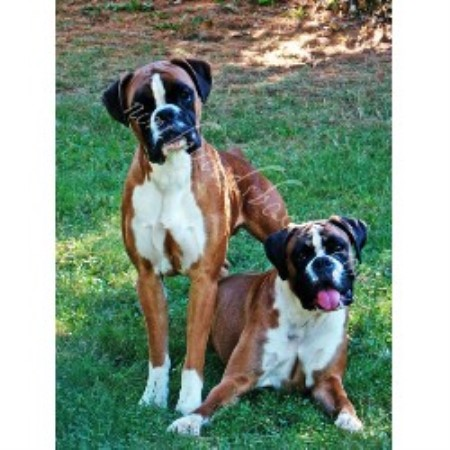 Northwoods Boxers Boxer Breeder In Fairfield Maine