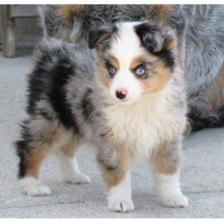 Australian Shepherd Mixes - Goldenacresdogs com