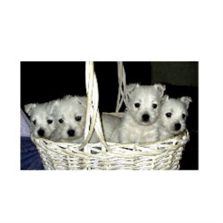 Laurels West Highland Whit Terrier, West Highland White