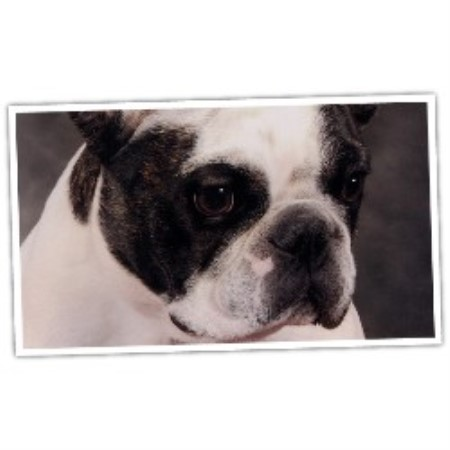 Favorite Child Frenchies French Bulldog Breeder In Lockport New York