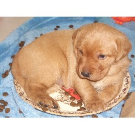 Yellow Rose Country Kennel Labrador Retriever Breeder In