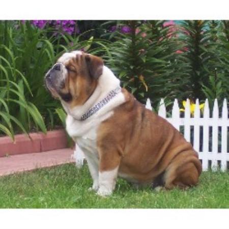 English Bulldog Kennel Moninski Dvorik English Bulldog Breeder In