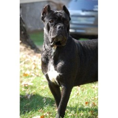 Bellissima Cane Corso Cane Corso Breeder In Kingsport Tennessee