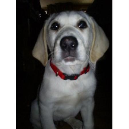 Labrador retriever breeder