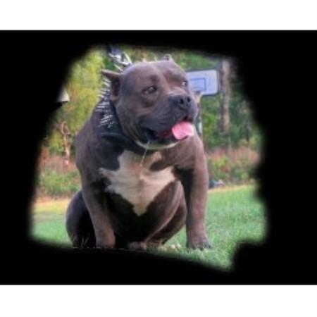 Bully Dog Shows In Louisiana
