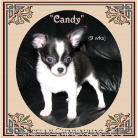 Chielle Chihuahuas, Chihuahua Breeder in Fallbrook, California